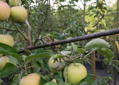 Apfelbaeume