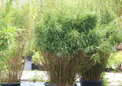 Bambus-A1