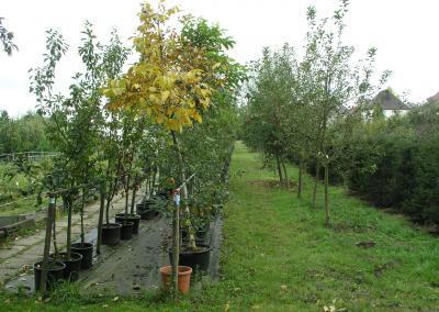 Solitär-Obstbäume