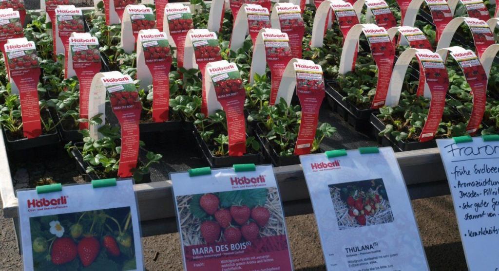 Erdbeerpflanzen für die Frühjahrspflanzung