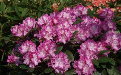 Zeit der Rhododendronblüte – die ersten blühenden Topfrosen sind da!