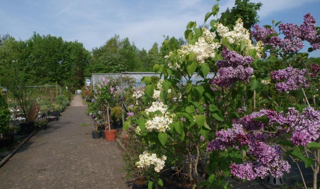 flieder und rhododendron bl hen jetzt baumschule rinn. Black Bedroom Furniture Sets. Home Design Ideas