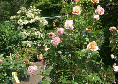 Bengali-Rose_mit_Schneeball