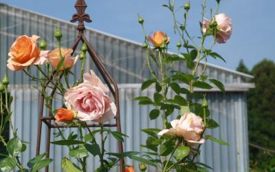 Zeit der Rosenblüte – Containerrosen