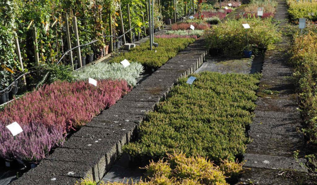Mehr als 20 Sorten Heide im Vorrat zu Herbstbeginn
