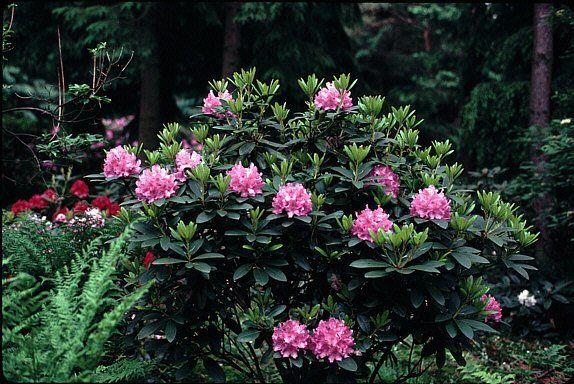 Rhododendron & Azaleen
