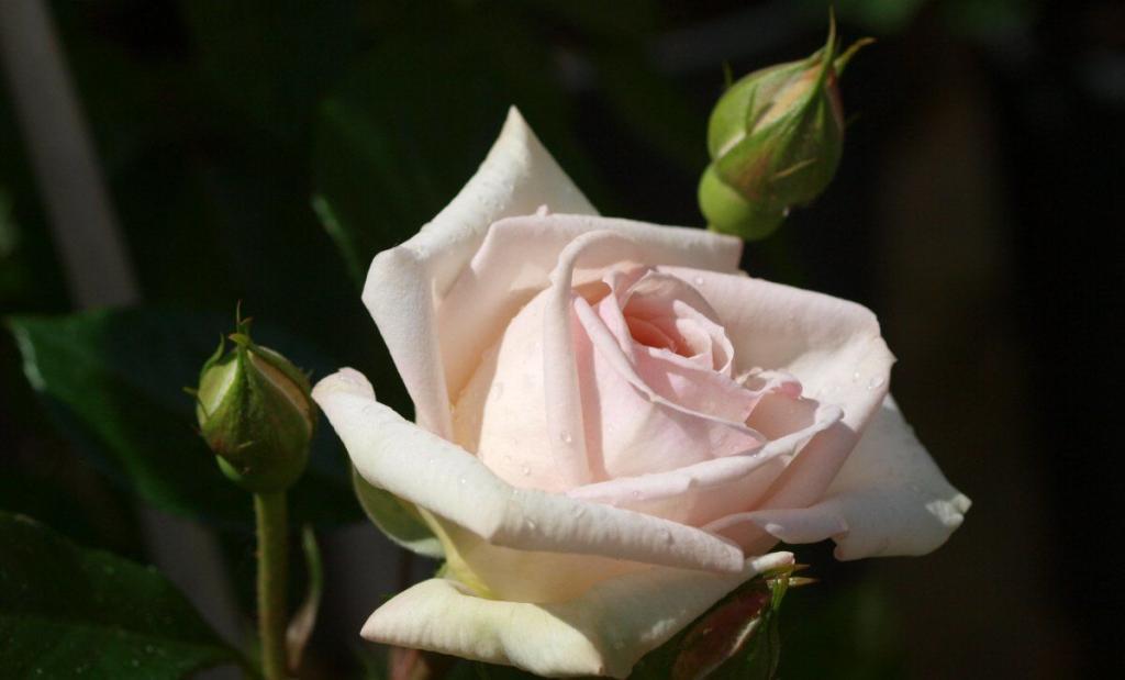 Zeit der Rosenblüte - Containerrosen