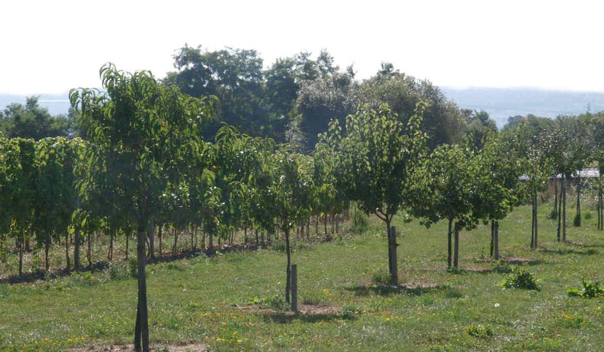 Obstbäume, alte hessisch Sorten