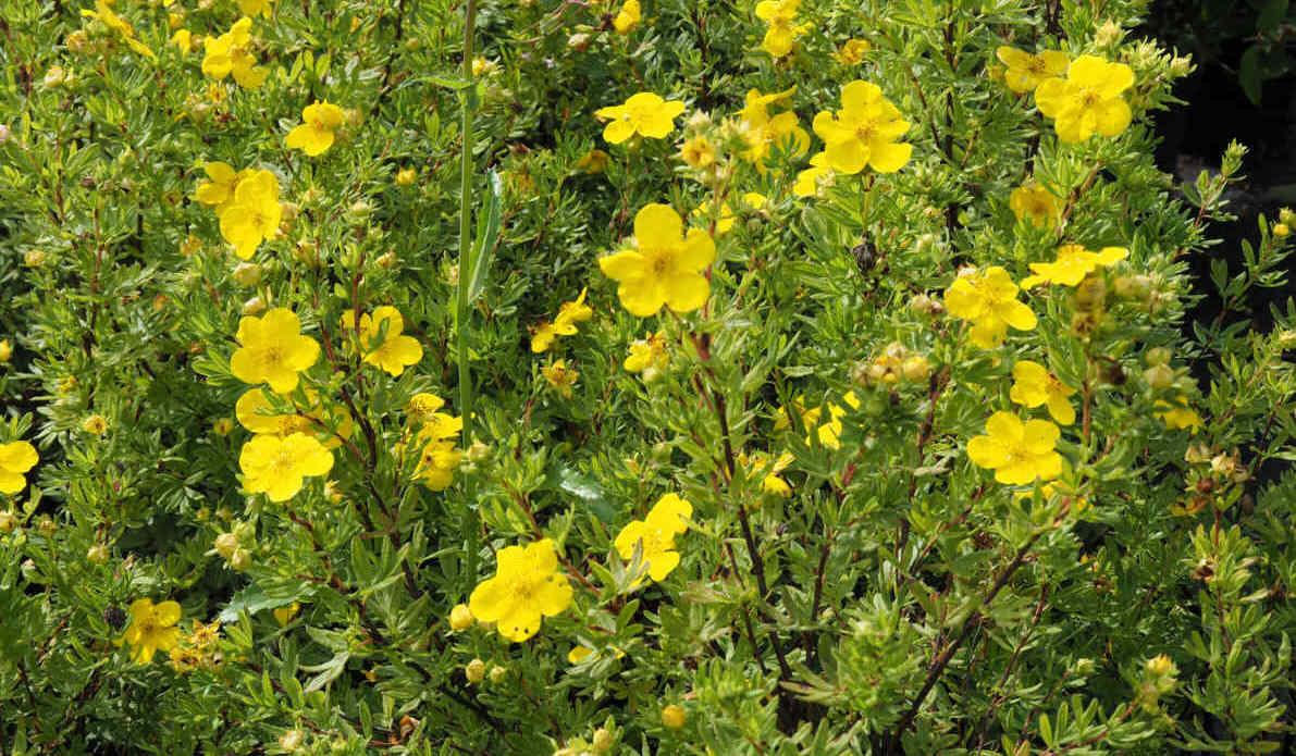 Bodendecker-Gelb