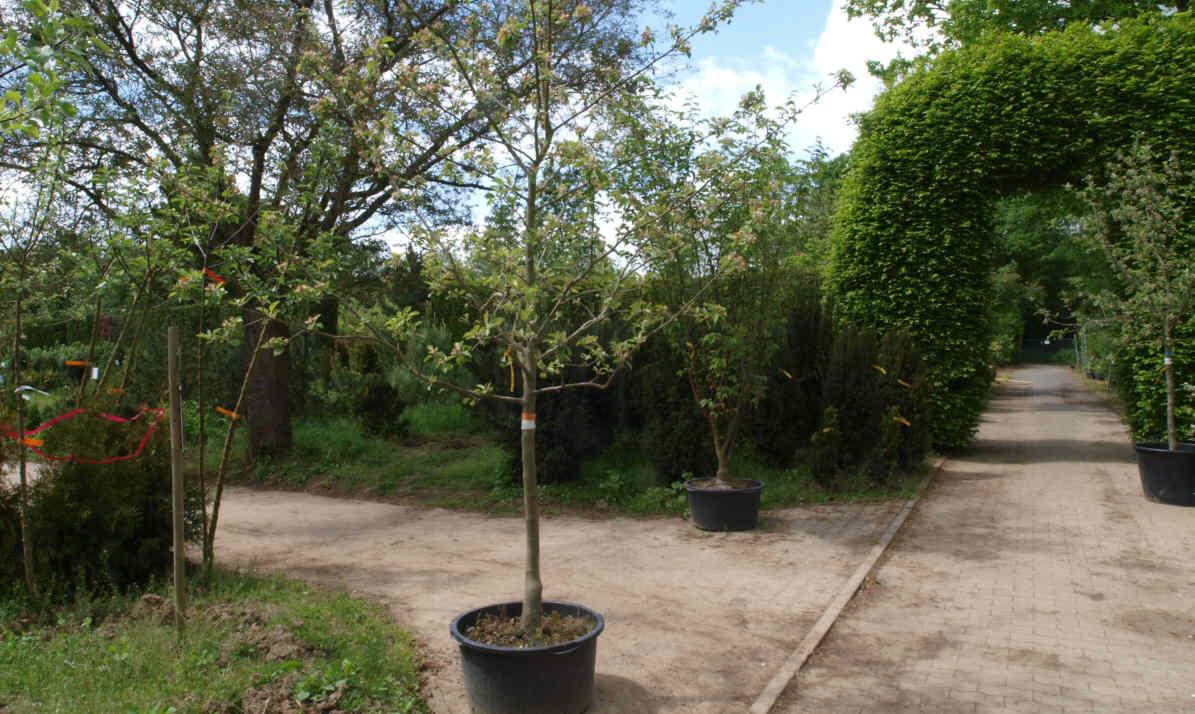 Obstbäume im Container 08 c2 - Containerobst -Obstbäume, das ganze Jahr pflanzbar
