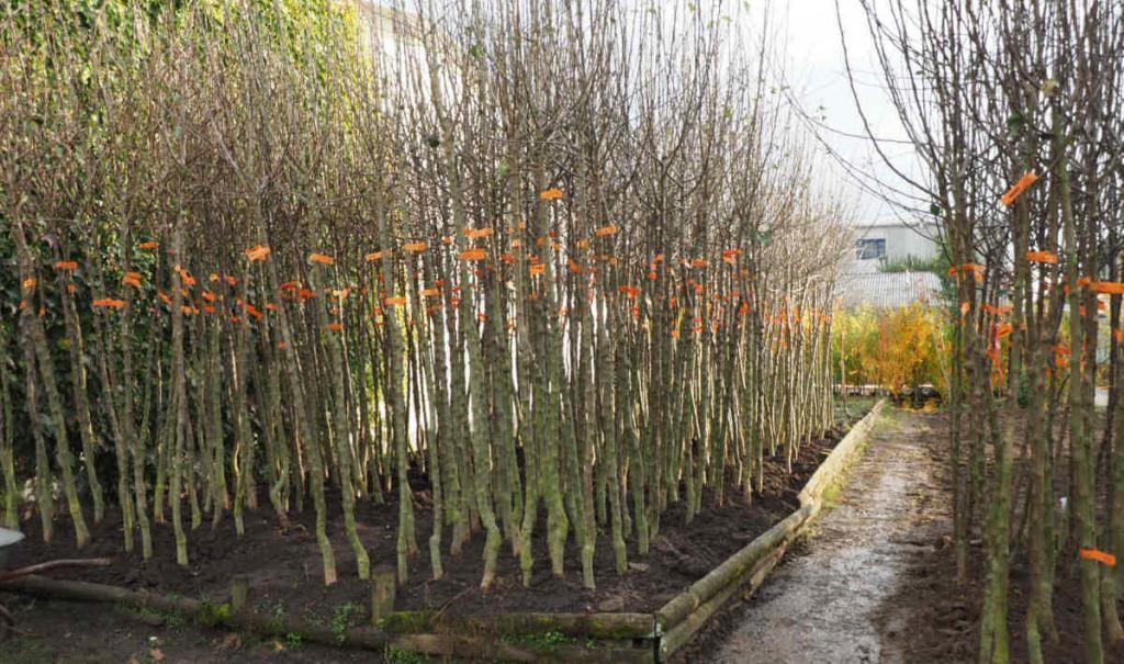 Obstbaum - Hochstämme