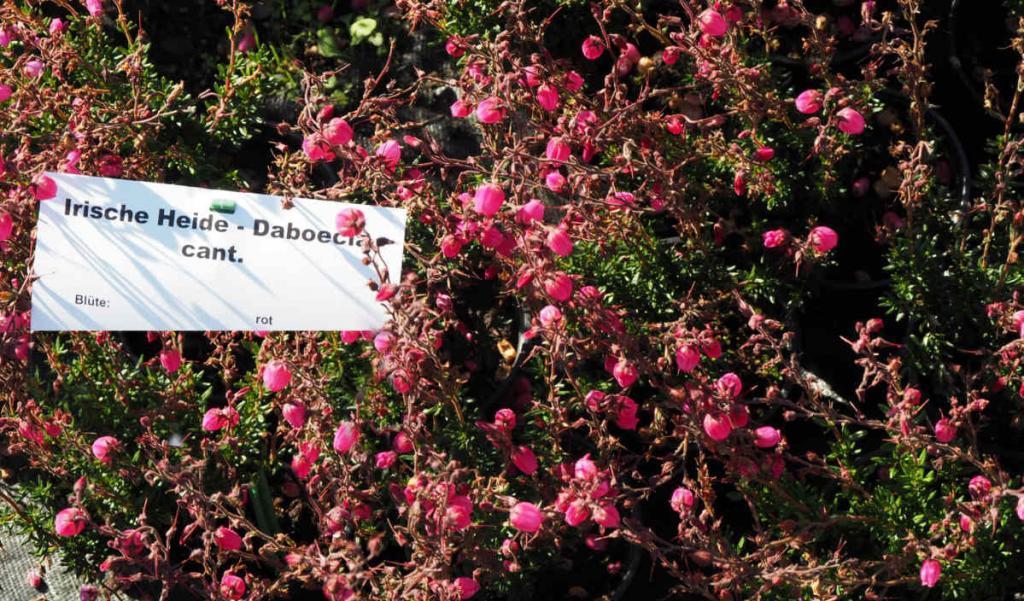 Daboecia, irische Glockenheide in rot