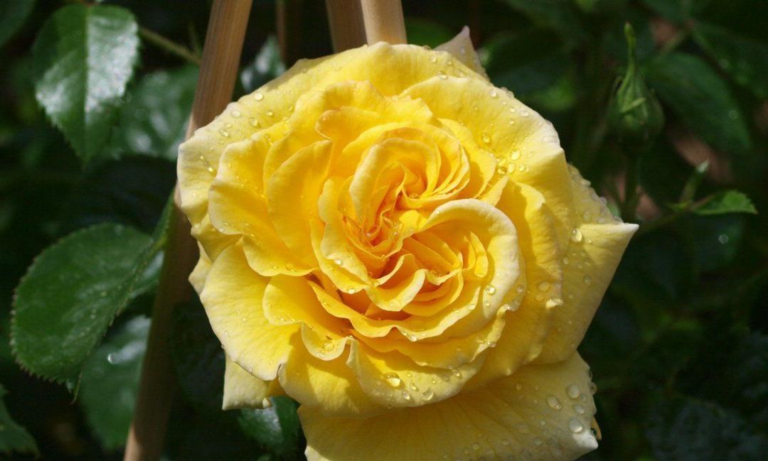 Mittsommer – Hochzeit der Rosenblüte