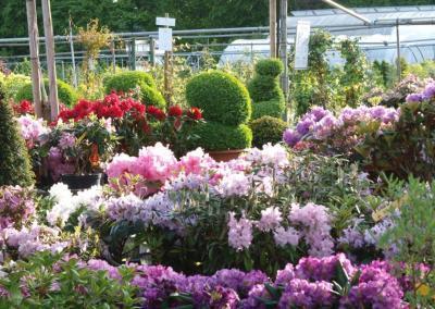 Rhododendron Impressionen