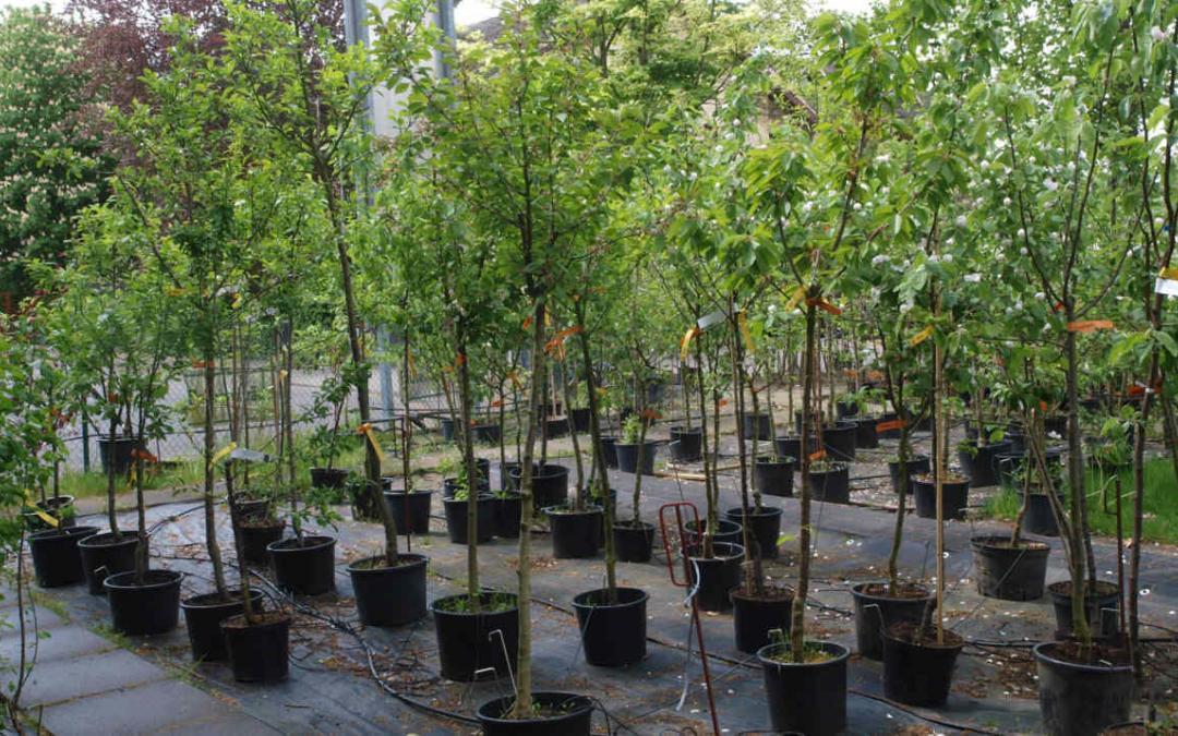Containerobst -Obstbäume, das ganze Jahr pflanzbar