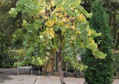 Rinn Beerenobst Wein Solitär 400x284 - Beeren & Wildobst