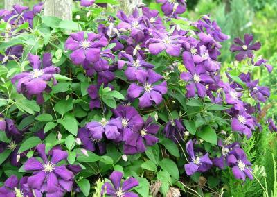 Clematis lila
