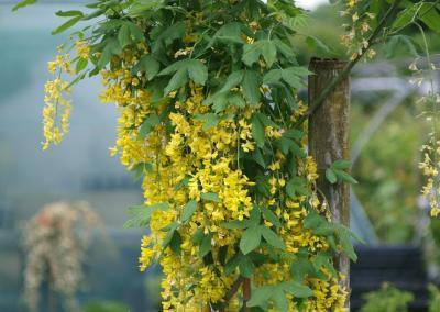 Kletterpflanze Goldregen