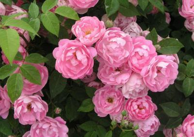 Kletterpflanze Rosa