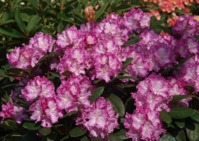 Rhododendron lilia