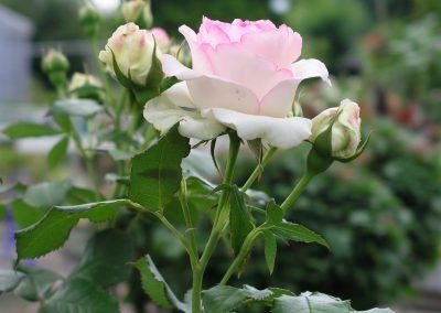 Rinn Rose rosa weiß 400x284 - Rosen