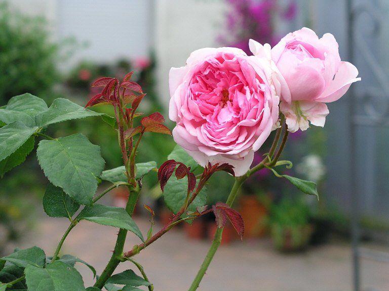 Rinn Rose rosa - Home