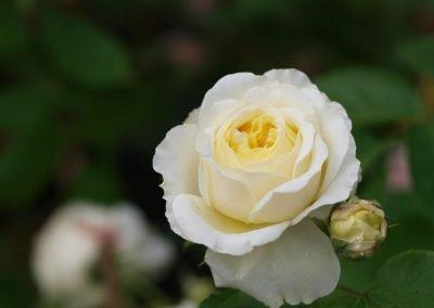 Rinn Rose weiß 400x284 - Rosen