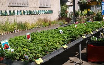 Erdbeerpflanzen für die Sommerpflanzung